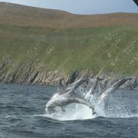 A rare sighting – Pod of Risso Dolphins captured from the Peig Sayers off the Great Blasket Island